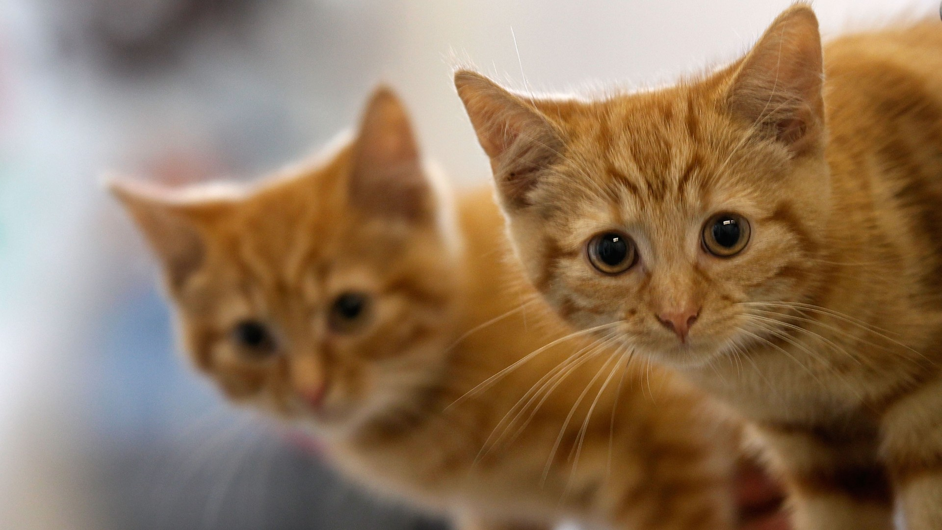 A 13-week-old kitten waits with her brother in this file photo taken on July 27, 2010 in Manchester, England. (Christopher Furlong/Getty Images))