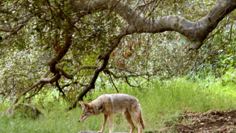 A coyote is seen in an undated photo on the L.A. Parks website.