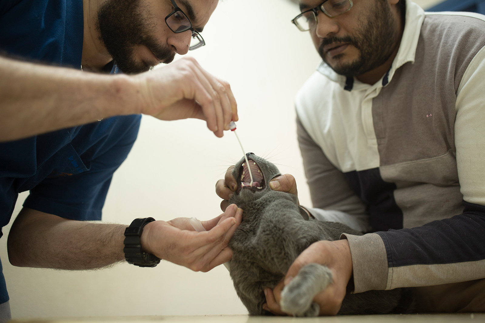 In this March 29, 2020 photo, a veterinarian tests an Egyptian cat for the coronavirus, a requirement for travel, at a clinic in Cairo, Egypt. (AP Photo/Maya Alleruzzo)