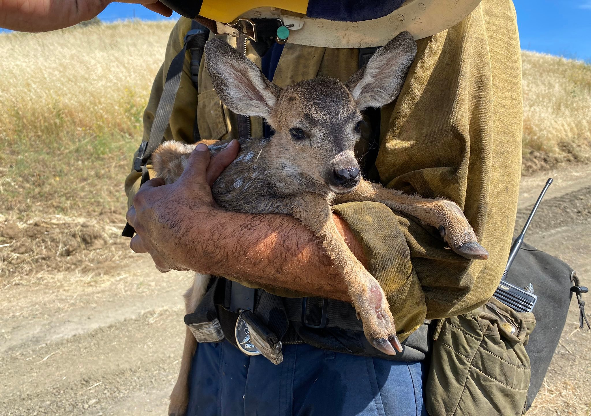 A firefighter rescues a fawn during a brush fire in Hollister Ranch on May 7, 2020. (Daniel Bertucelli / Santa Barbara County Fire Department)