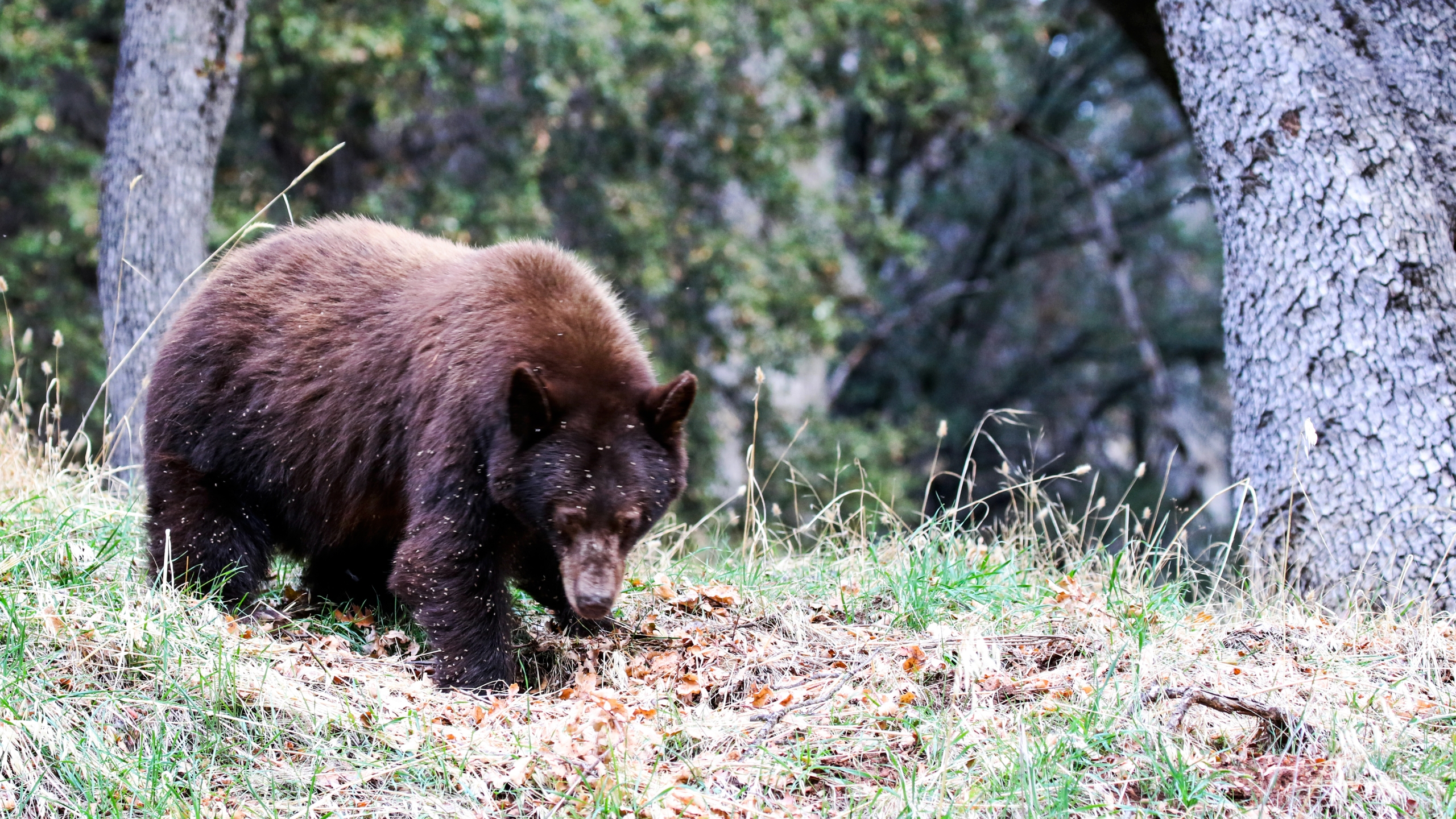 A bear is seen at Sequoia National Park in this undated file photo. (Getty Images)