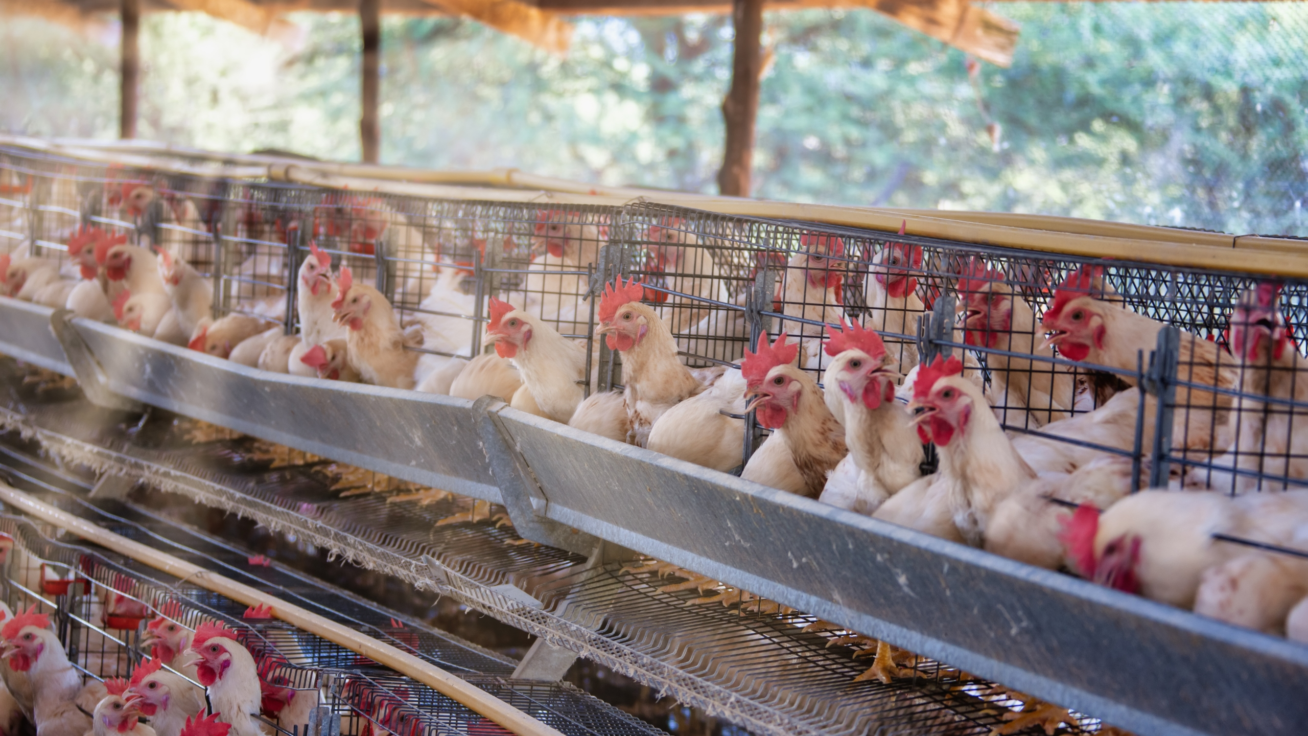 This undated file photo shows hens at an egg farm. (Getty Images)