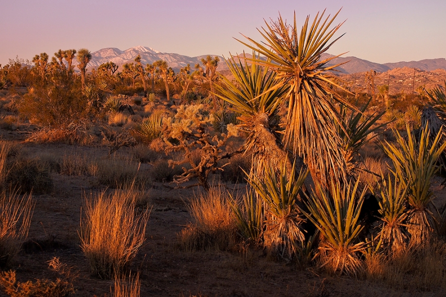 Conservation land between Yucca Valley and Joshua Tree is seen in an undated photo, before it was burned in a wildfire on May 11, 2020. (Drew Reese / Mojave Desert Land Trust)