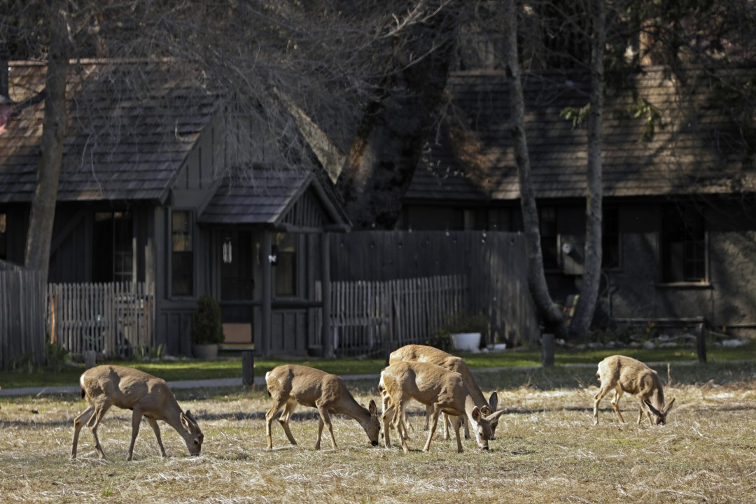 Deer feed in Yosemite Valley. Yosemite National Park is closed to visitors due to the coronavirus, allowing the animals to roam without having to worry about crowds of people. (Carolyn Cole / Los Angeles Times)