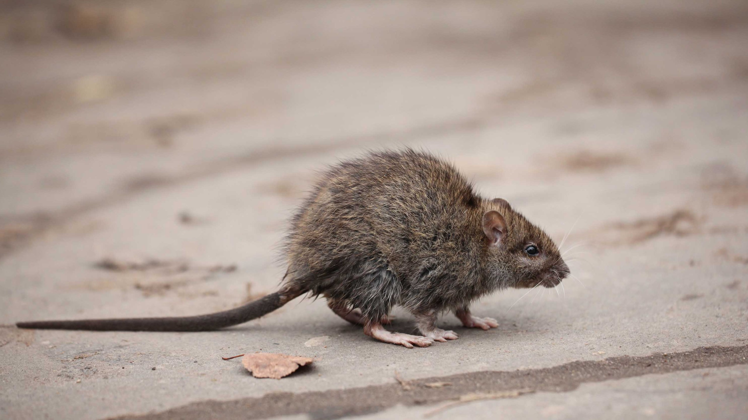 A rat is seen in a file photo. (Shutterstock via CNN)