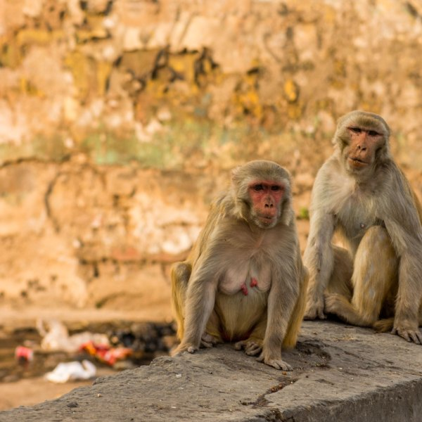 Monkeys, such as those pictured here in Agra, India, climbed the trees with the samples after snatching them from a lab assistant. (Yawar Nazir/Getty Images)