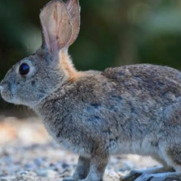 A photo of a rabbit released by the California Department of Fish and Wildlife.