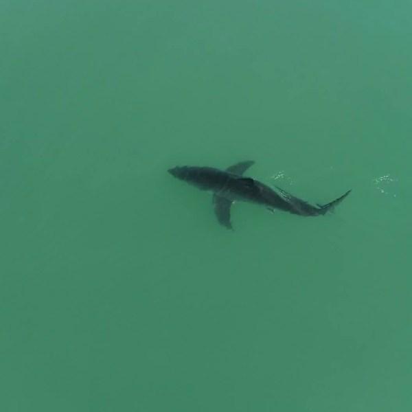 Matt Larmand provided KTLA with drone video of a shark off the Dana Point coast on May 28, 2020.