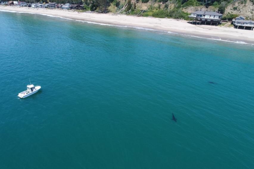 A great white shark seen near the Santa Cruz County shoreline. (Eric Mailander via KRON4)