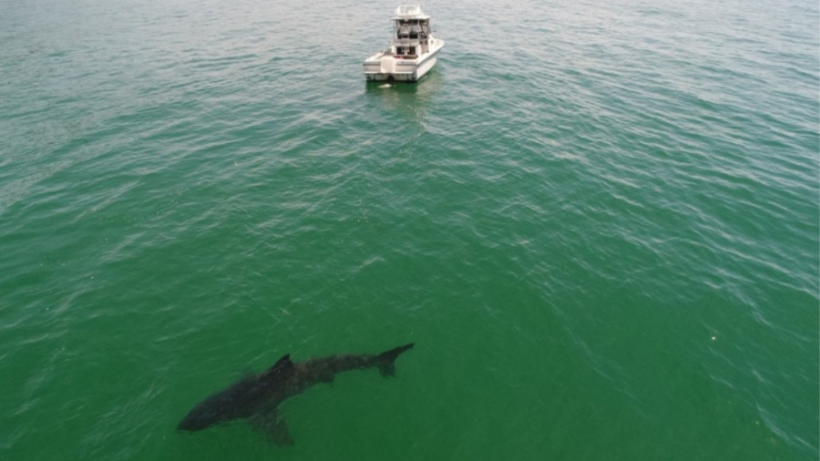 A Monterey Bay drone photographer captured this image of a shark, saying he counted 15 great white sharks near the Santa Cruz County shoreline on the morning of May 9, 2020. (Eric Mailander via KRON4)