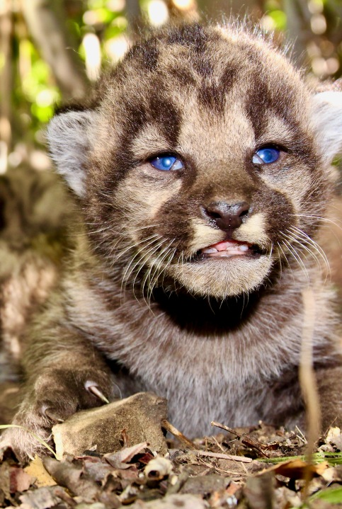 One of P-54's mountain lion kittens is seen in this image taken on May 14, 2020 at the Santa Monica Mountains. (National Park Service)