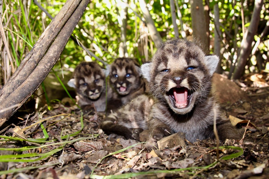 P-54's three mountain lion kittens are seen in this image taken on May 14, 2020 at the Santa Monica Mountains. (National Park Service)