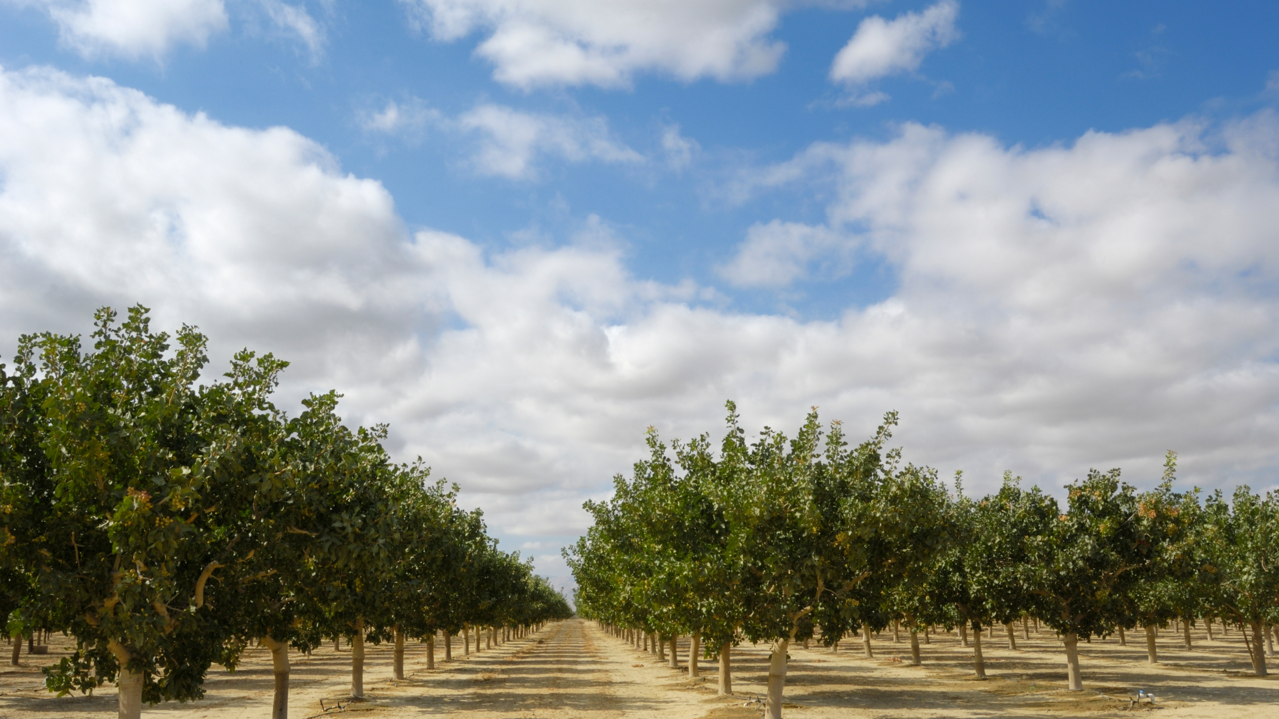 Pistachios grow in clusters on a central California orchard below a cloud filled sky in this undated photo. (Getty Images)