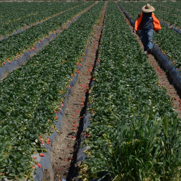 A worker harvest strawberries at a farm near Oxnard in this file photo taken on March 13, 2013. (JOE KLAMAR/AFP via Getty Images)