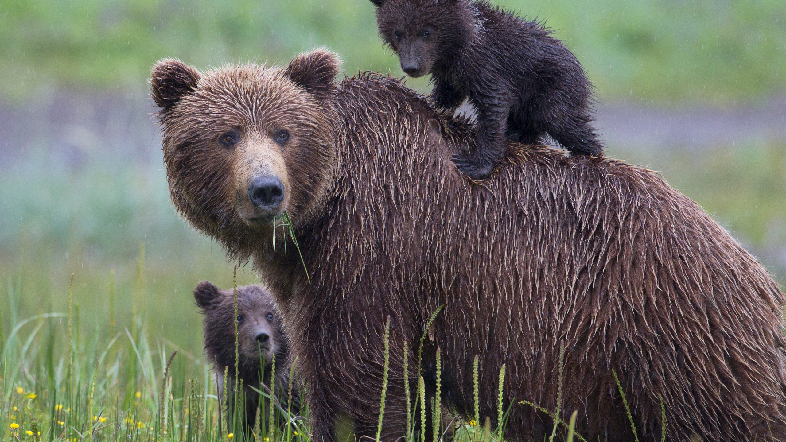 A bear and two cubs are seen in a file photo. (Credit: iStock/Getty Images Plus)