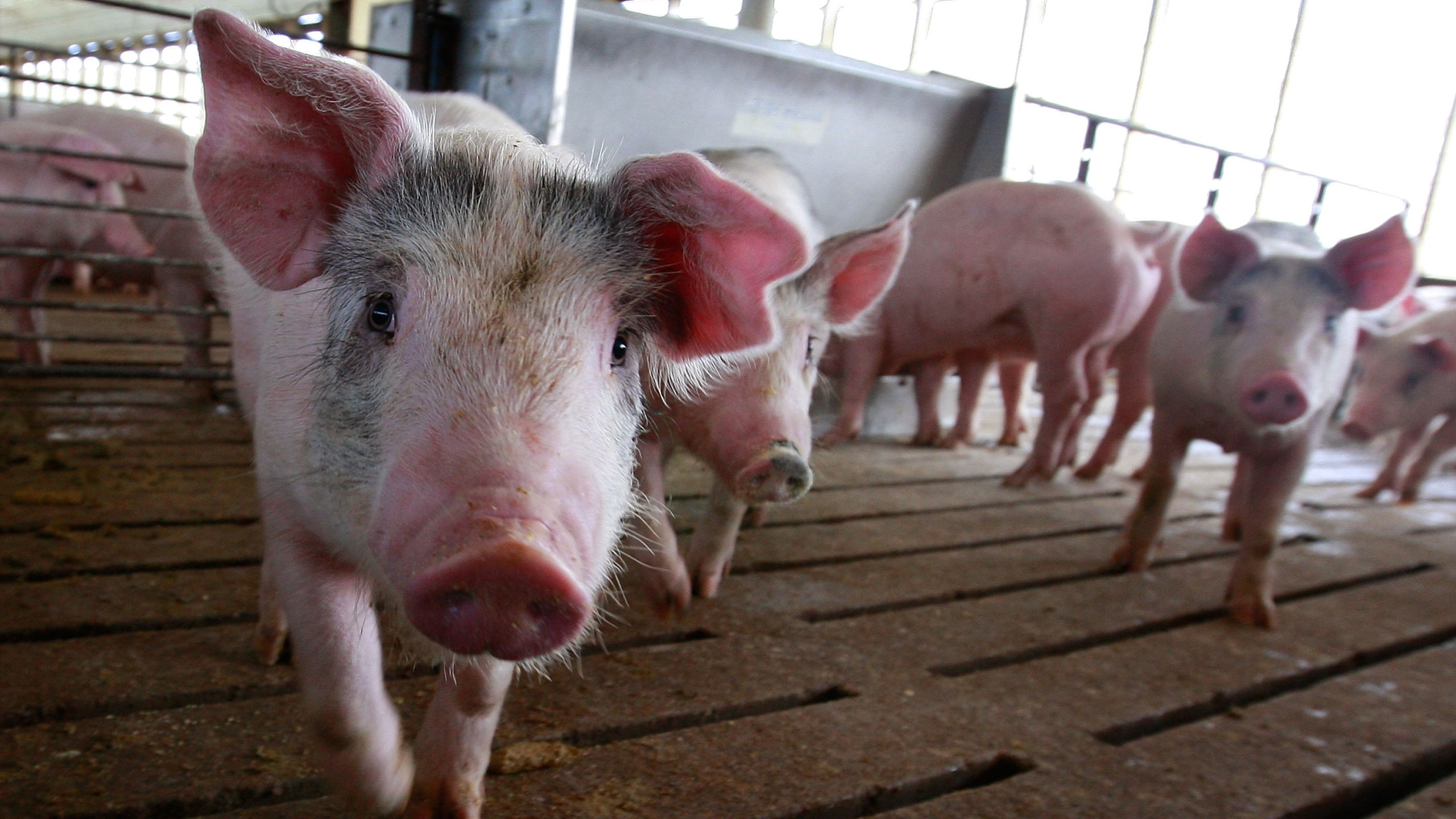 Pigs are seen in this file photo. (Scott Olson/Getty Images)
