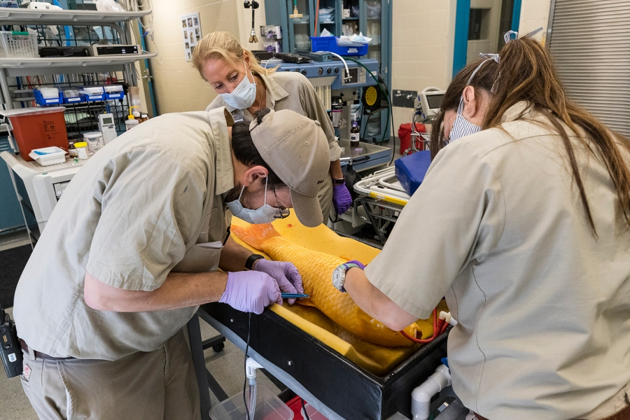 Three skin masses were removed from the fish during the procedure. (Ken Bohn, San Diego Zoo Global)