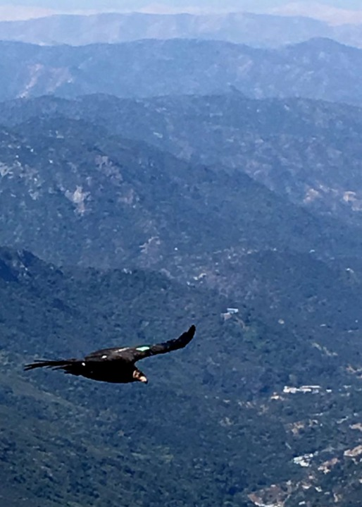 A California condor soars above forested land in Sequoia National Park in May 2020. (Wilson Garver / National Park Service)