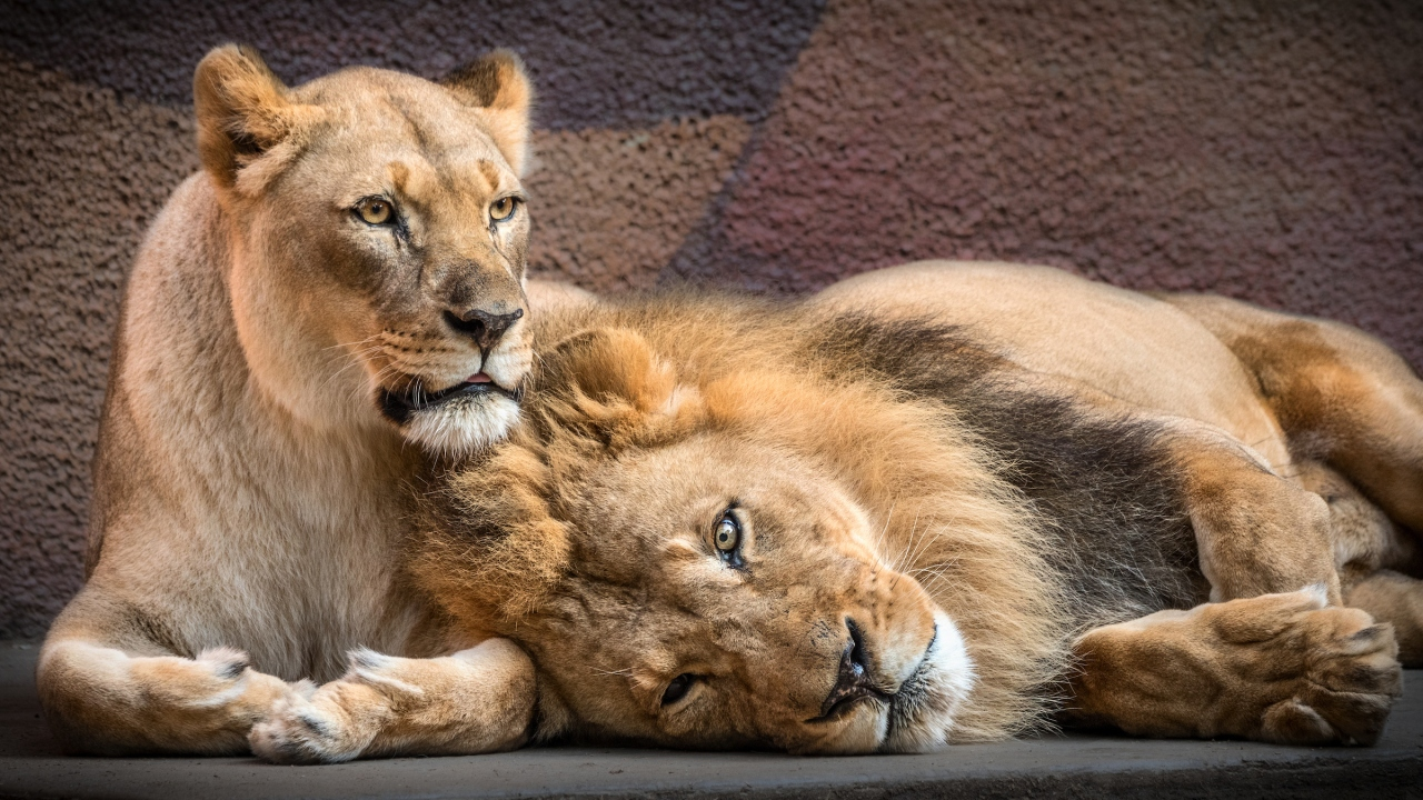 L.A. Zoo mourns loss of beloved pair of African lions who were loyal companions - KTLA