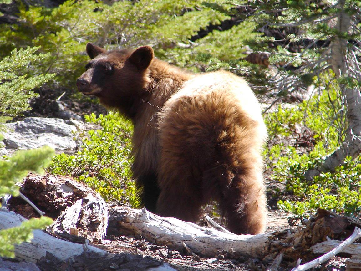 The Facebook account for the Lassen Volcanic National Park posted this image of a bear on June 22, 2020.