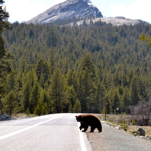 A bear is seen crossing a read in this file photo from Yosemite National Park.