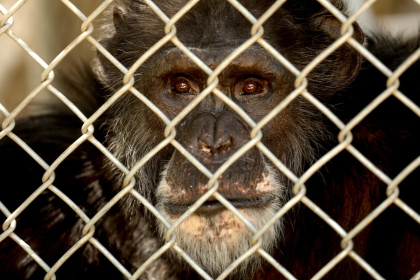 One of 32 chimpanzees still residing at the shuttered Wildlife Waystation in the Angeles National Forest in Sylmar is photographed on July 14, 2020. (Genaro Molina / Los Angeles Times)