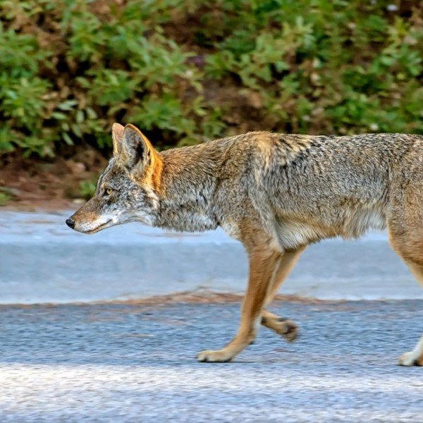 A coyote is seen in an image posted on the Mission Viejo Twitter page.