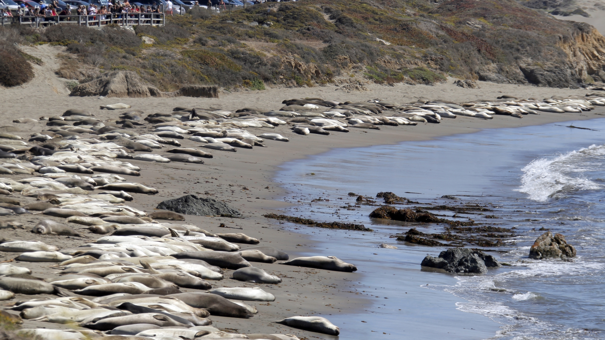 In this file photo taken Oct. 6, 2013, tourists watch elephant seals basking in the sun on the Piedras Blancas beach near San Simeon, Calif. The Piedras Blancas Marine Reserve rookery, on Highway 1, seven-miles north of San Simeon on the California Central Coast, is home to thousands of elephant seals. (Nick Ut/Associated Press)