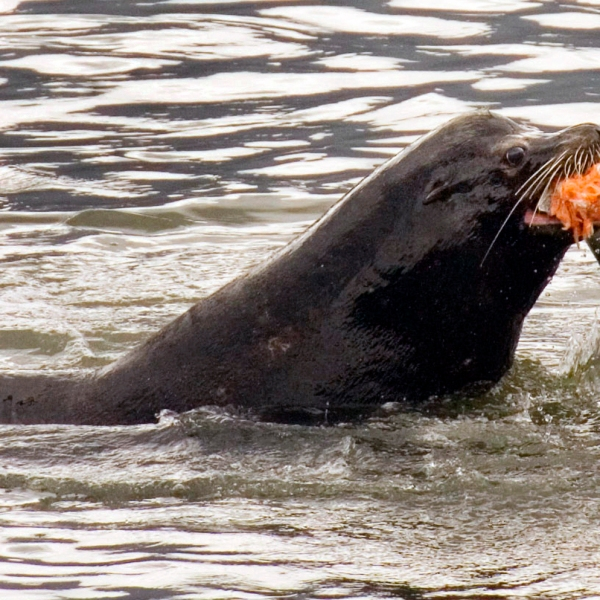 In this April 24, 2008, file photo, a sea lion eats a salmon in the Columbia River near Bonneville Dam in North Bonneville, Wash. Federal authorities on Friday, Aug. 14, 2020, granted permission for Washington state, Oregon and several Native American tribes to begin killing hundreds of salmon-hungry sea lions in the Columbia River and its tributaries over the next five years. (AP Photo/Don Ryan, File)