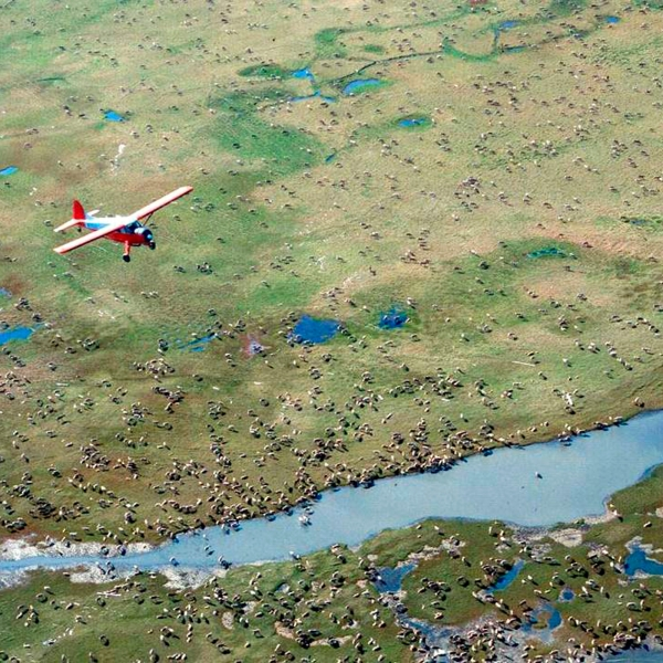 In this undated photo provided by the U.S. Fish and Wildlife Service, an airplane flies over caribou from the Porcupine Caribou Herd on the coastal plain of the Arctic National Wildlife Refuge in northeast Alaska.(U.S. Fish and Wildlife Service via Associated Press)