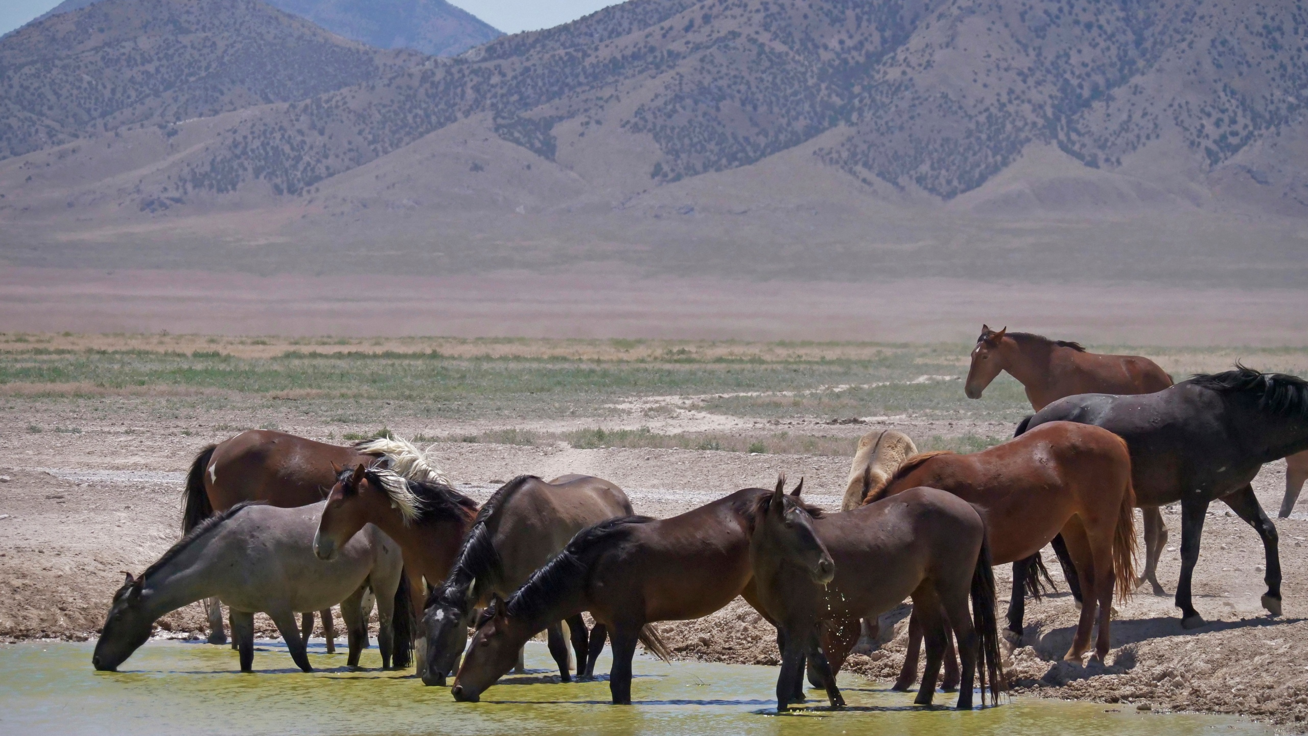 In this June 29, 2018, file photo, wild horses drink from a watering hole outside Salt Lake City. The U.S. Bureau of Land Management has approved construction of corrals in Colorado, Wyoming and Utah that can hold more than 8,000 wild horses captured on federal rangeland in the West, a move that should allow the agency to accelerate roundups that have been slowed by excess capacity at existing holding facilities. (AP Photo/Rick Bowmer, File)