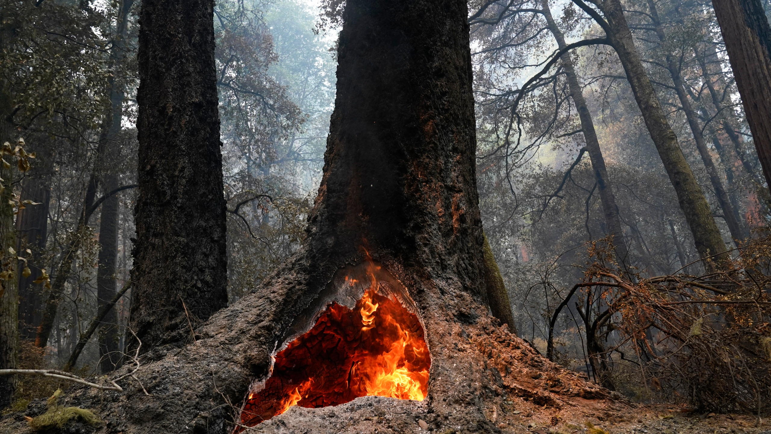 Fire burns in the hollow of an old-growth redwood tree in the Big Basin Redwoods State Park on Aug. 24, 2020. (AP Photo/Marcio Jose Sanchez)