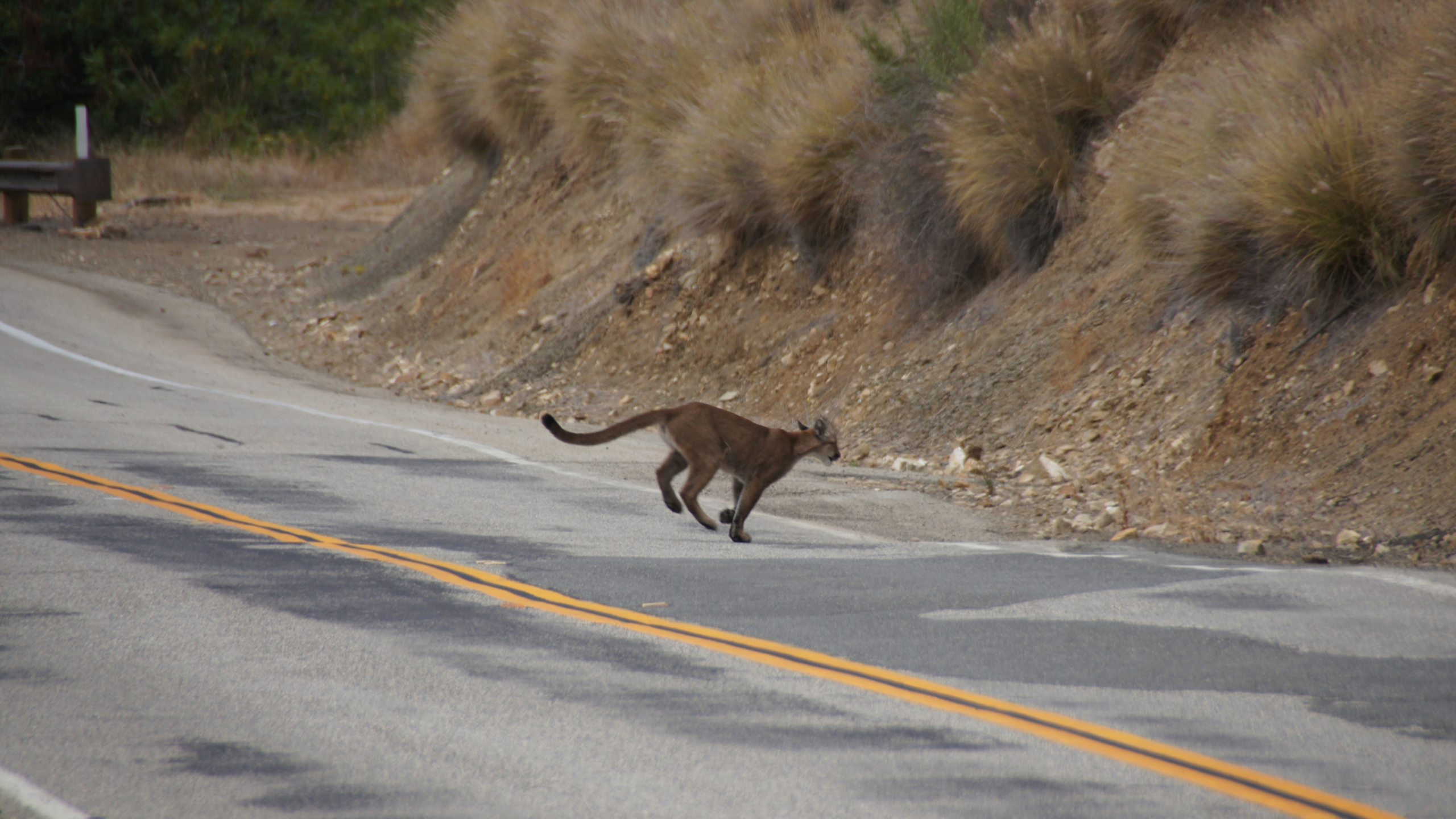 This July 10, 2013, photo shows mountain lion P-23 crossing a road in the Santa Monica Mountains. (National Park Service via AP)