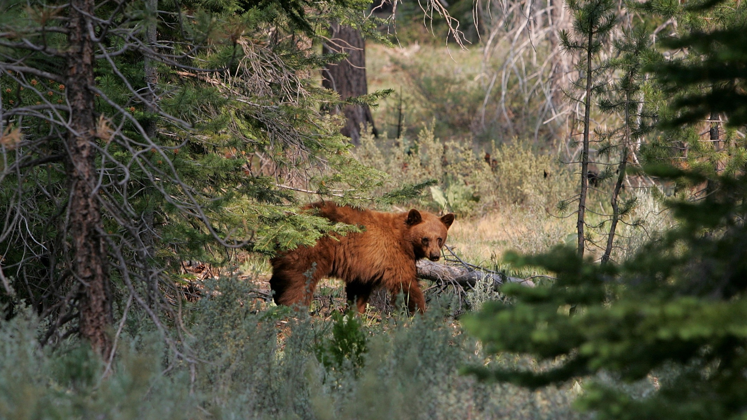 A black bear walks through a meadow after descending a tree near the Angora fire line on June 27, 2007, in South Lake Tahoe. (Justin Sullivan/Getty Images)
