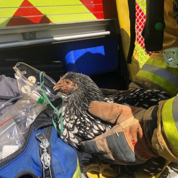 Members of the Ventura County Fire Department rescued and revived seven chickens that suffered smoke inhalation during a fire in a garage in Camarillo Heights on Aug. 6, 2020.(Ventura County Fire Department)