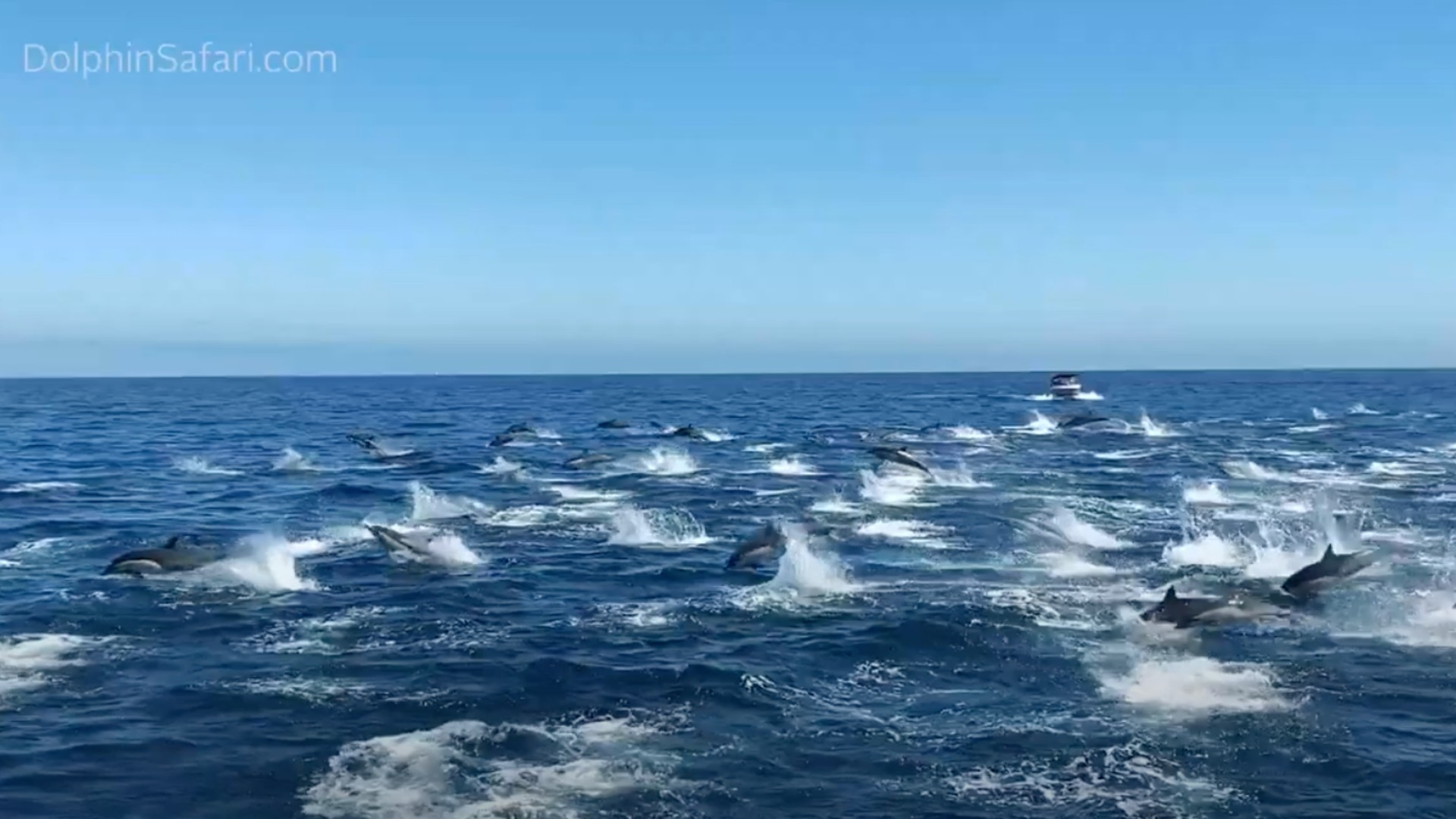 A dolphin stampede off the coast of Dana Point. (Buck Munson/DolphinSafari.com)