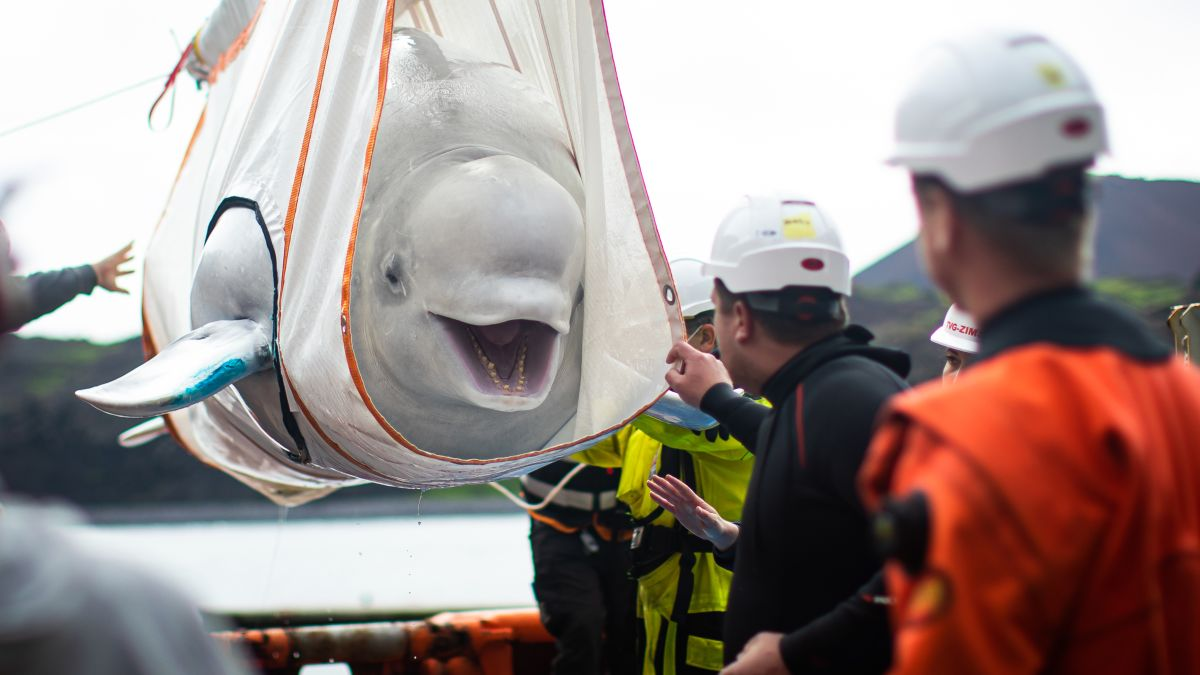 Two beluga whales, named Little Grey and Little White, have arrived at their new sea sanctuary care area at Klettsvik Bay in Iceland. (CNN)