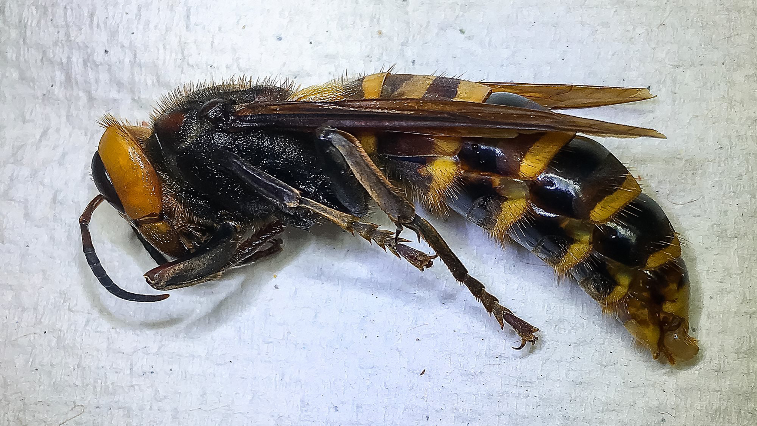 This hornet was found in a trap set by the Washington State Department of Agriculture near Birch Bay in Whatcom County. Trappers checked the bottle trap on July 14, 2020. (WSDA)