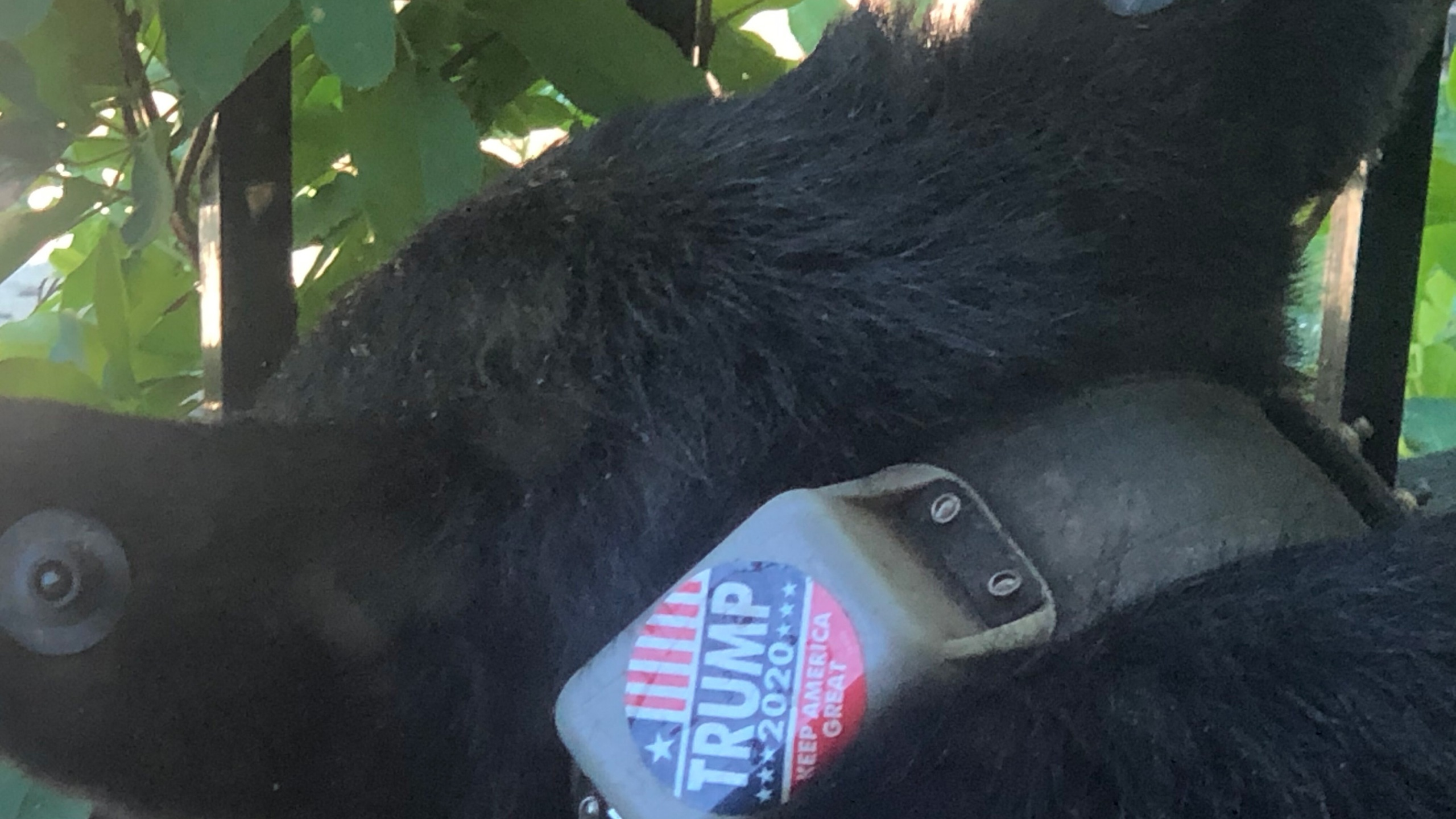 The Trump 2020 sticker was seen attached to the bear's tracking collar, according to photographs obtained by CNN. (Shelia Chapman)