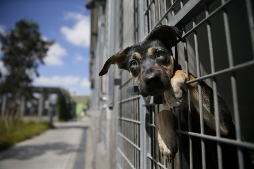 A German shepherd mix is seen at a Los Angeles Animal Services shelter in this undated file photo.(Allen J. Schaben / Los Angeles Times)