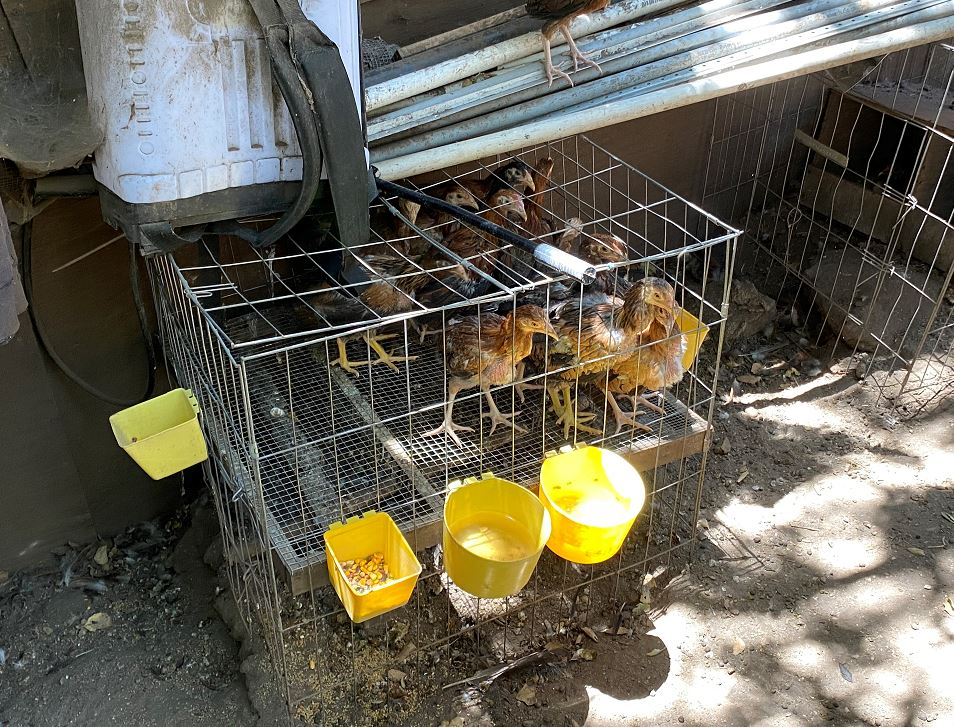 The L.A. County Sheriff's Department released this image of roosters they said were found during a search of a property in an unincorporated area of Chatsworth on Aug. 3, 2020.