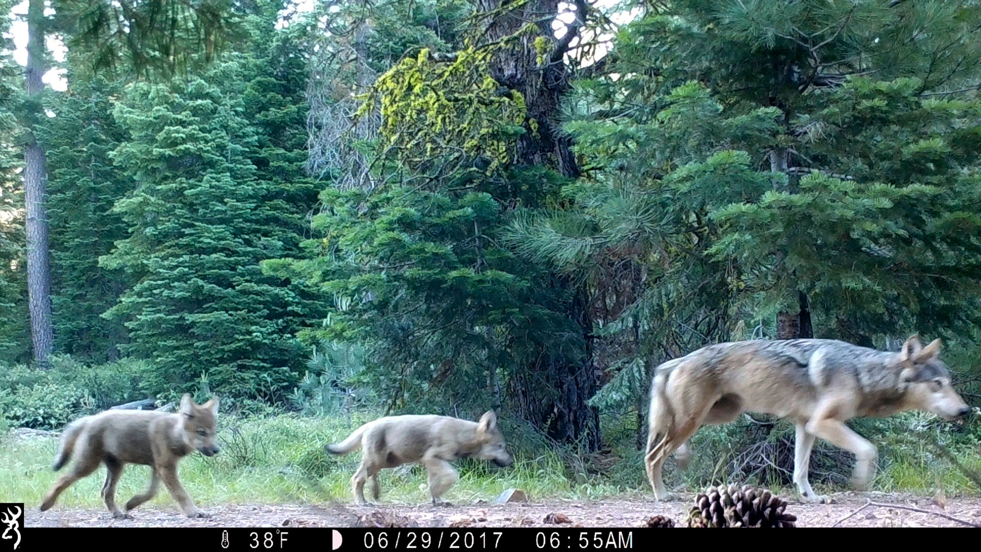 This June 29, 2017, file remote camera image provided by the U.S. Forest Service shows a female gray wolf and two of the three pups born in 2017 in the wilds of Lassen National Forest in Northern California. The Trump administration plans to lift endangered species protections for gray wolves across most of the nation by the end of 2020, the director of the U.S. Fish and Wildlife Service said Monday, Aug. 31, 2020. (U.S. Forest Service via AP, File)