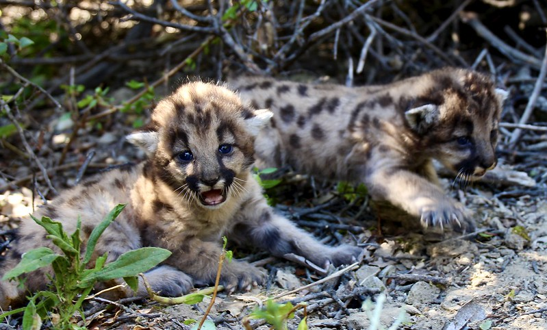 P-67's mountain lion kitten litter is seen in a photo taken by the officials with the Santa Monica Mountains Recreation Area on July 7, 2020.