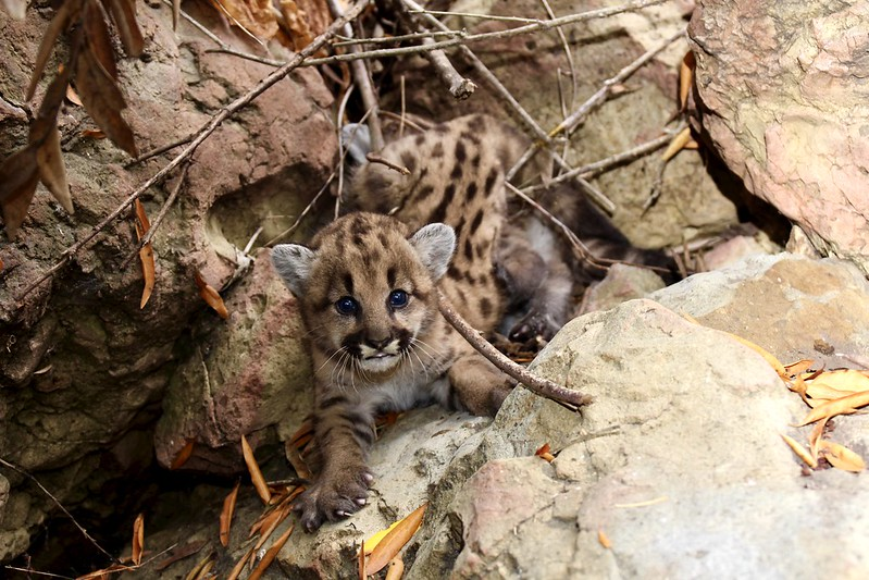P-80's mountain lion kitten litter is seen in a photo taken by the officials with the Santa Monica Mountains Recreation Area on Aug. 6, 2020.
