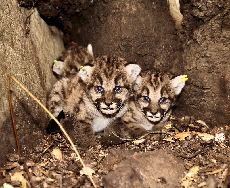 P-65's mountain lion kitten litter is seen in a photo taken by the officials with the Santa Monica Mountains Recreation Area on July 6, 2020.