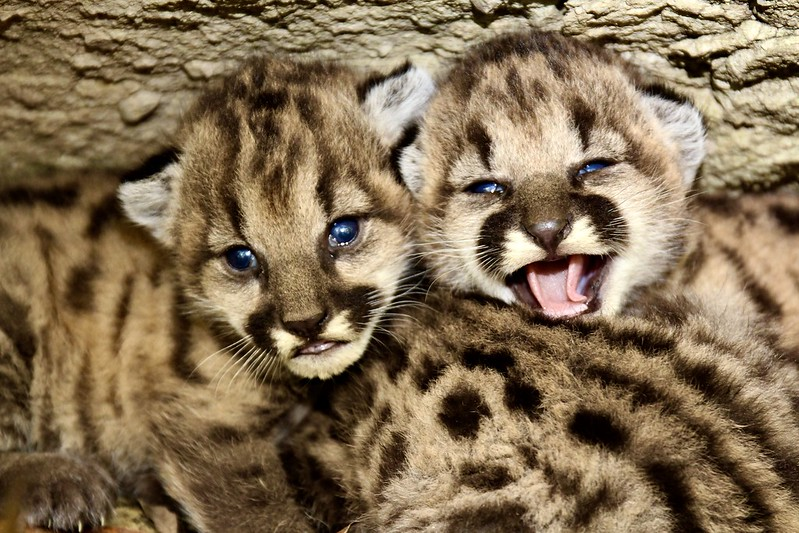 P-19's mountain lion kitten litter is seen in a photo taken by the officials with the Santa Monica Mountains Recreation Area on June 19, 2020.