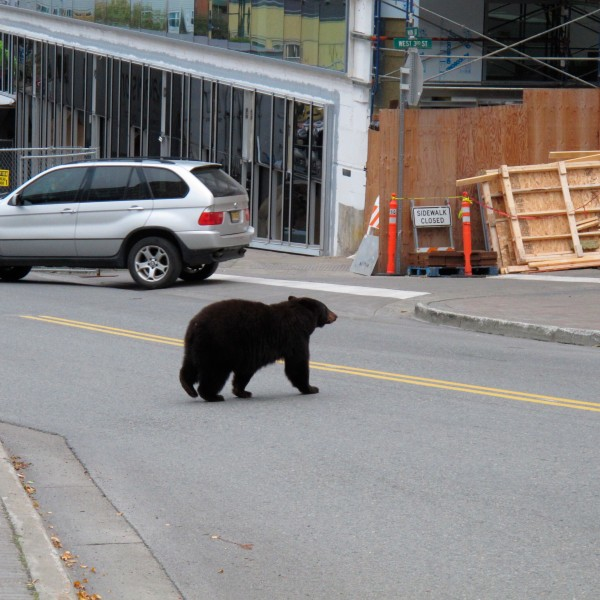In this Oct. 4, 2018, file photo, a black bear saunters across a busy street in downtown Juneau, Alaska. (AP Photo/Becky Bohrer, File)