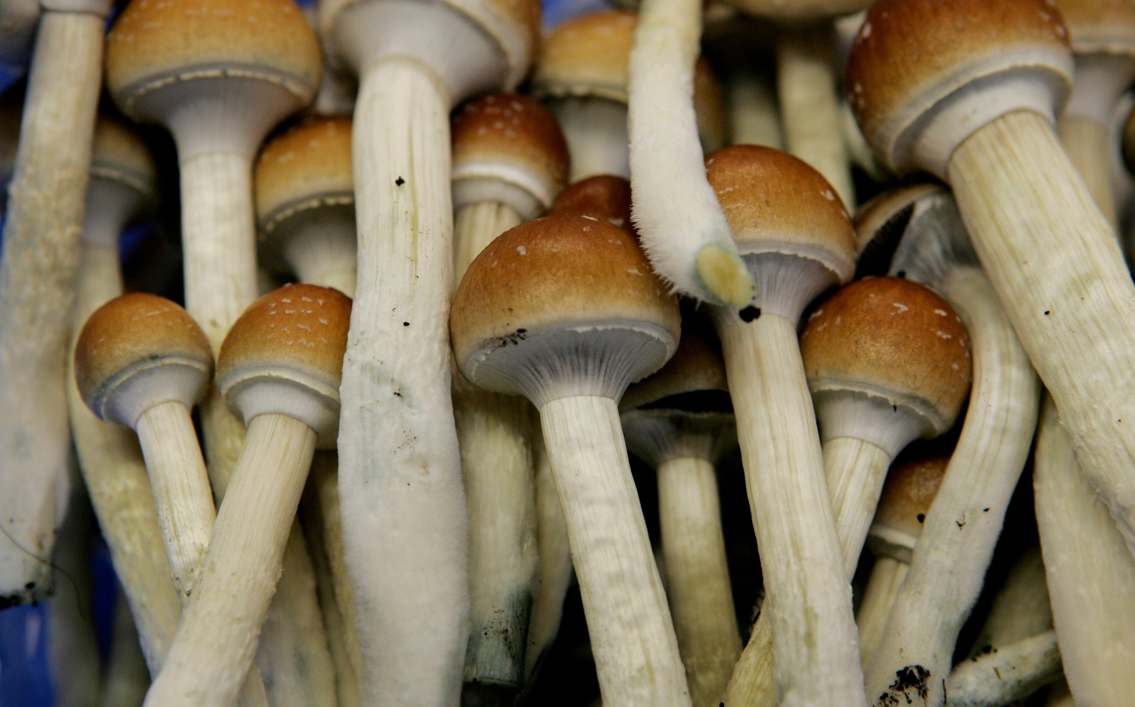 In this Aug. 3, 2007, file photo magic mushrooms are seen in a grow room at the Procare farm in Hazerswoude, central Netherlands. (AP Photo/Peter Dejong, File)