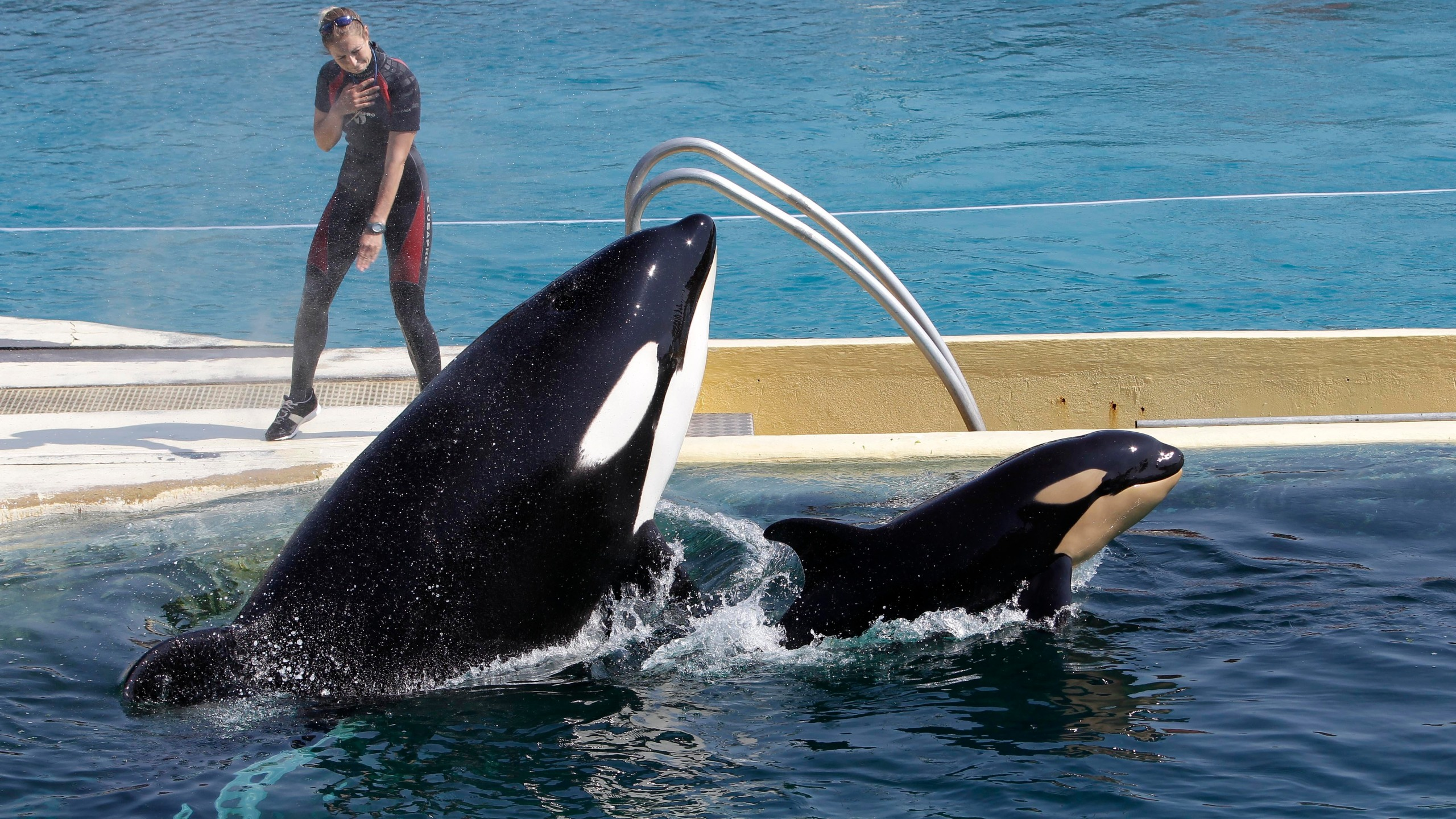 "In this April 18, 2011 file photo, killer whale ""Wikie"", jumps with its baby, a female born one month ago at the Marineland aquatic park in Antibes, southeastern France. France's environment minister Barbara Pompili announced Tuesday Sept.29, 2020 a gradual ban in the coming years on the use of wild animals in travelling circuses and on keeping in captivity dolphins and killer whales.(AP Photo/Lionel Cironneau, File)"