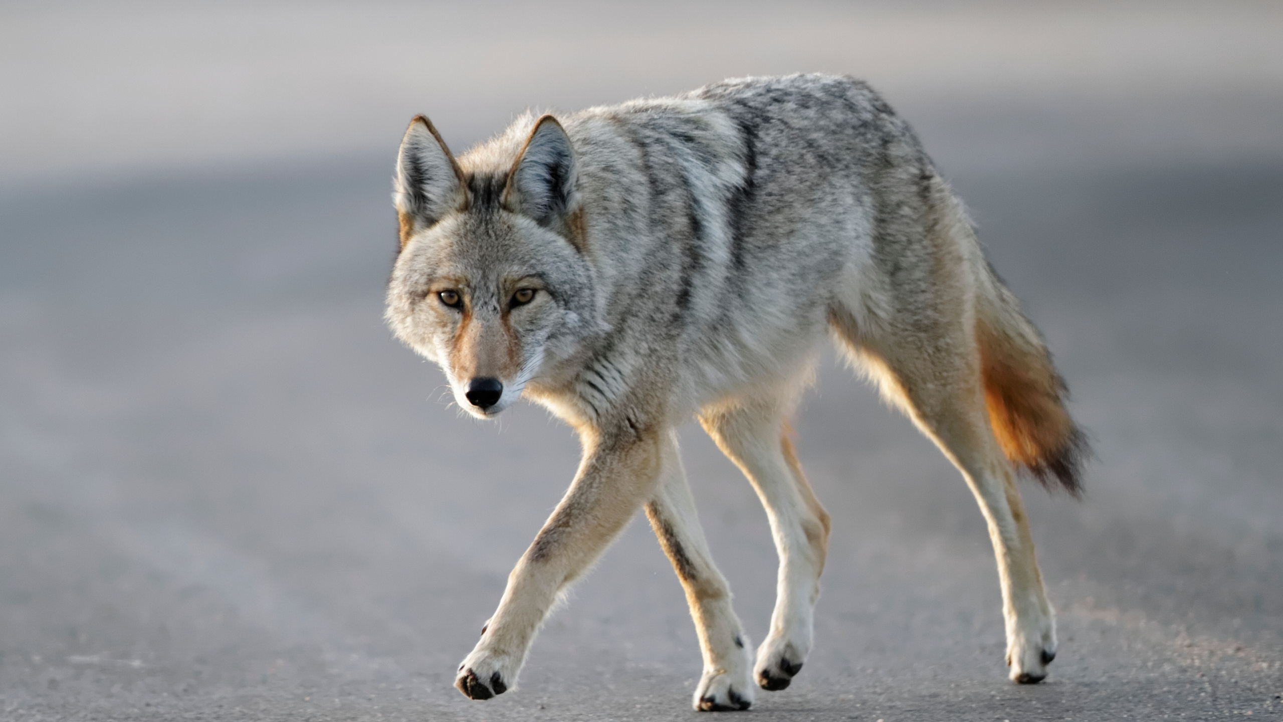 This file photo shows a coyote walking near Cherry Creek State park, Aurora, Colo. (Getty Images)